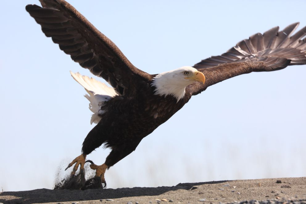While coastal Alaska is inundated with bald eagles, much of the rest of the country has smaller, recovering populations, and no one wants them succumbing to lead poisoning. This eagle was taking off from a Cook Inlet beach in May of 2016. (Steve Meyer)