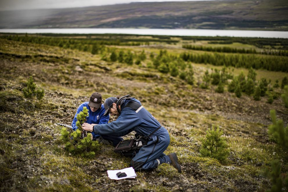 Larus Heidarsson, a forestry worker, and Maria Vesta, a university student, measure pine trees planted in 2004, in the Eastfjords region of Iceland, Aug. 4, 2017. (Josh Haner/The New York Times)