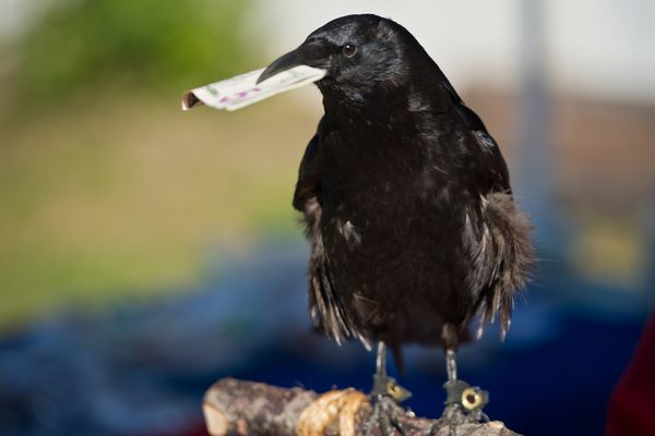 Cody, a northwestern crow, accepts a donation for Bird TLC at the organizations Gone With The Wing bird festival on Saturday, August 22, 2015.