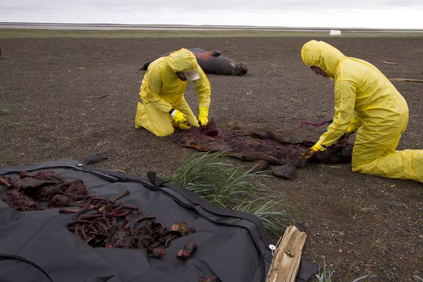 Casey Clark and Nicole Misarti, right, remove the bones from a walrus that was trampled by other walruses near Point Lay, Alaska, in 2015. (Photo by Kelsey Gobroski / UA Museum of the North)