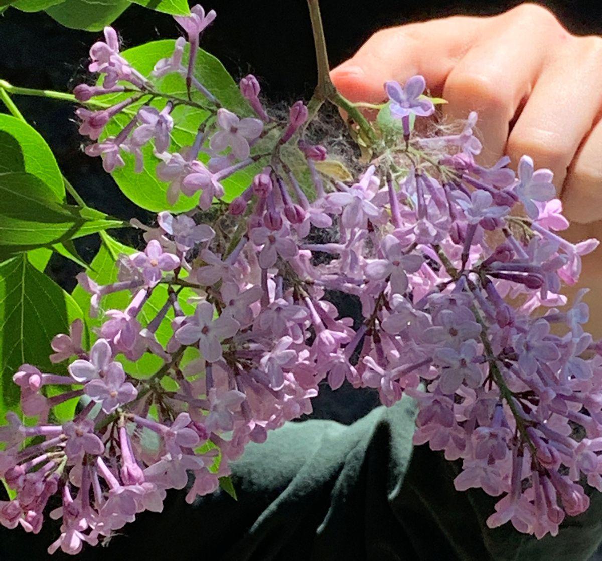 Lilacs. (Jeff Lowenfels/ADN)