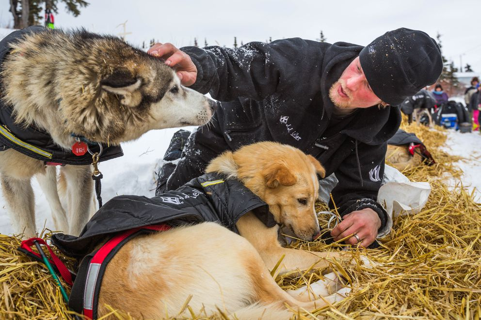 Dallas Seavey tends to his lead dogs shortly after arriving at the Koyuk checkpoint during the 2015 Iditarod. (Loren Holmes / ADN archive)