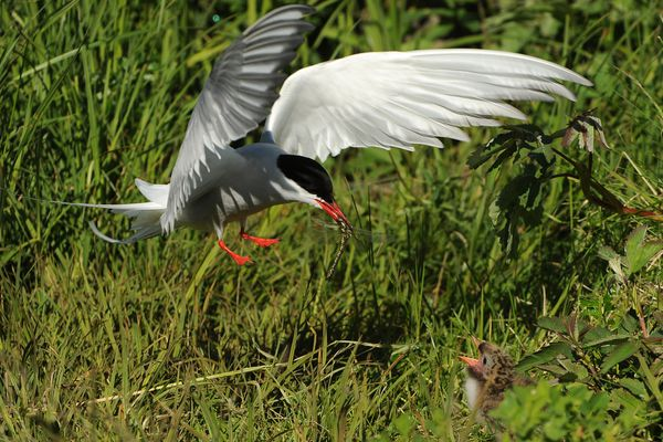 An Arctic tern adult comes in with a dragonfly to feed a tern chick on the edge of Potter Marsh in south Anchorage, Alaska on Thursday, June 15, 2017. (Bob Hallinen / Alaska Dispatch News)