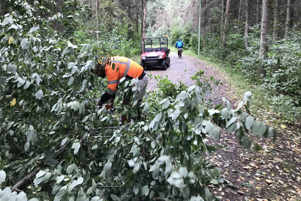 As a cyclist travels the Chester Creek Trail on Wednesday, Adrian Gonzales cuts up a tree that had fallen across the trail during the early fall storm. The Anchorage Parks and Recreation crew drives the trails to take care of downed trees and whatever else they found along the trail system. (Anne Raup / Alaska Dispatch News)