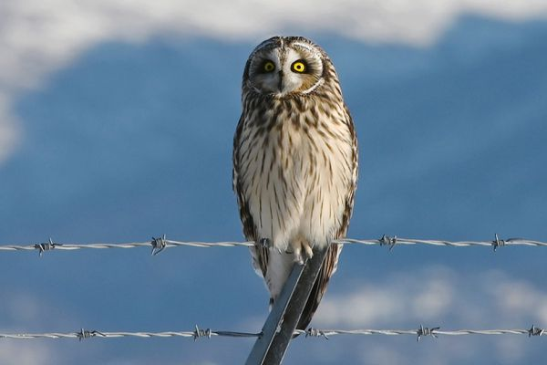 A Short Eared Owl, one of several that has been spotted near Ted Stevens Anchorage International Airport, sits perched on a fence while hunting along the North/South runway on Feb. 27, 2020. (Bill Roth / ADN)