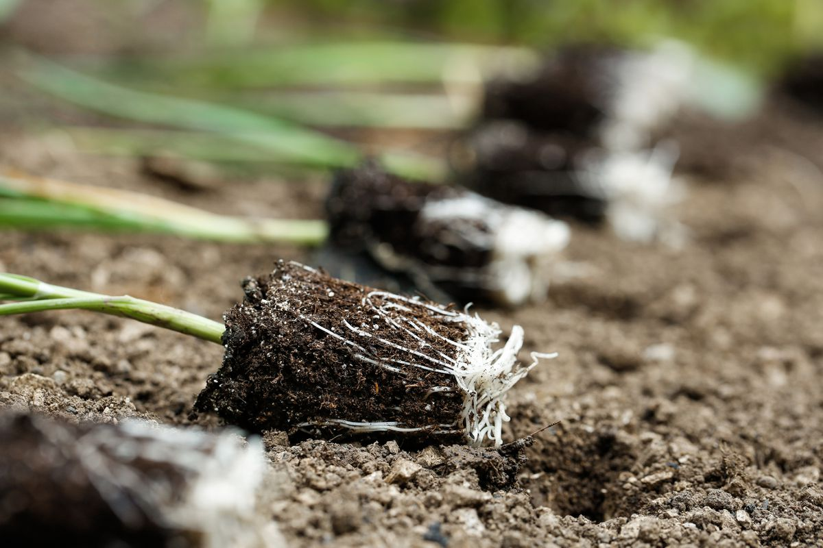 Closeup of leek seedlings lying on freshly plowed garden bed, prepared for planting. (Getty)