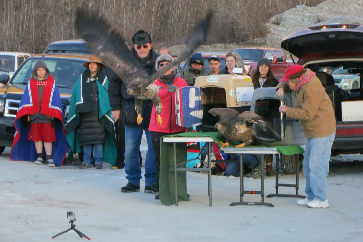 Haines resident Lucy Harrell releases a rehabilitated bald eagle during the Alaska Bald Eagle Festival, which ended Saturday in Haines. (Heather Lende)