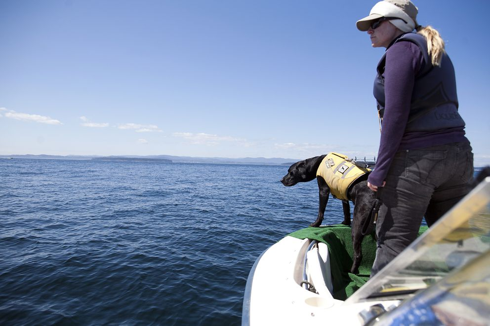 FILE — Elizabeth Seely, a dog trainer at the Center for Conservation Biology, holds Tucker, a whale-scat sniffing dog searching for orcas in waters off the coast of San Juan Island, Wash., Aug. 20, 2012. (Matthew Ryan Williams/The New York Times)