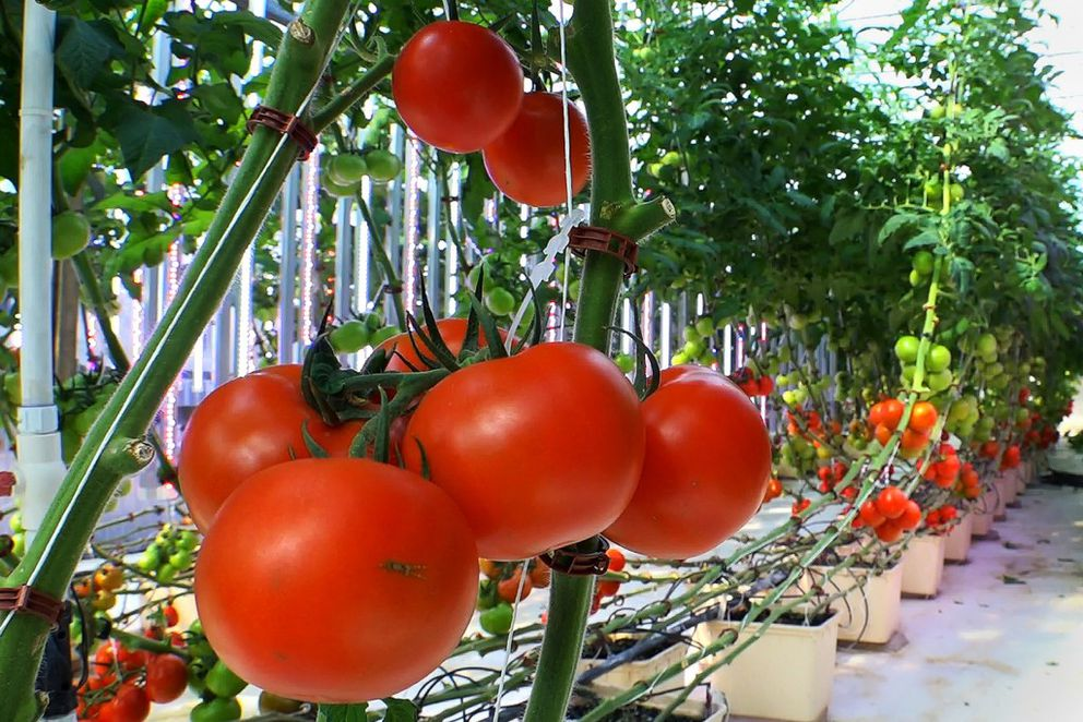 Hundreds of tomatoes grow from containers filled with a combination of ground up recycled glass and biochar in the production greenhouse at Chena Hot Springs Resort on May 29, 2016.Owner Bernie Karl says no soil is used to grow these tomatoes. (Scott Jensen / Alaska Dispatch News)