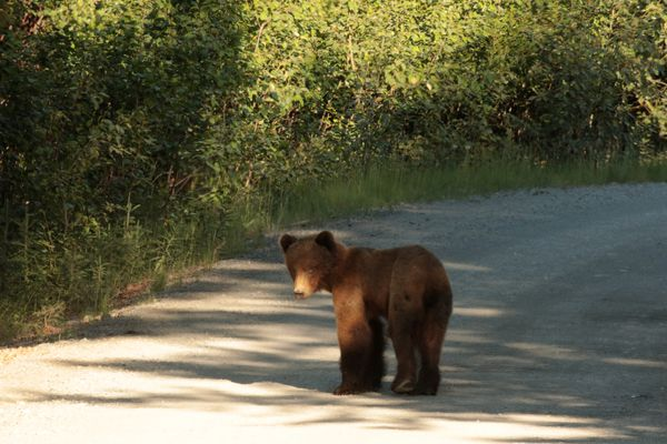 A young brown bear looking a bit lost. in June 2021. (Photo by Steve Meyer)