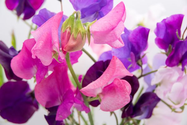 Sweet pea blossoms (Getty Images)