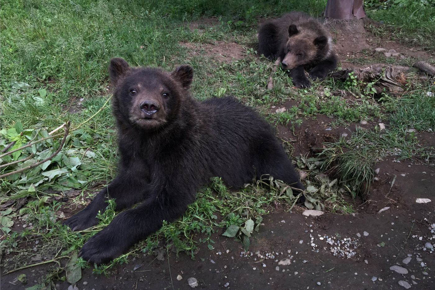 Two orphaned brown bear cubs from the Anchorage Hillside are being cared for at the Alaska Zoo. (Bill Roth / Alaska Dispatch News)