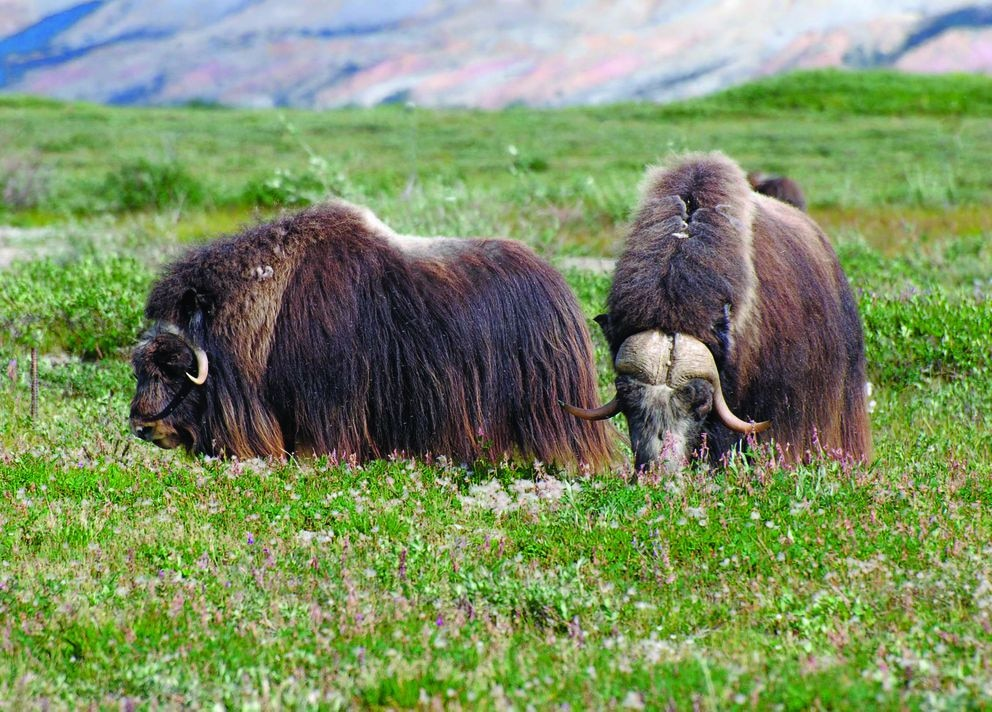 "Musk oxen, as pictured in ""Gates of the Arctic National Park: Twelve Years of Wilderness Exploration,"" by Joe Wilkins (Photo by Joe Wilkins)"