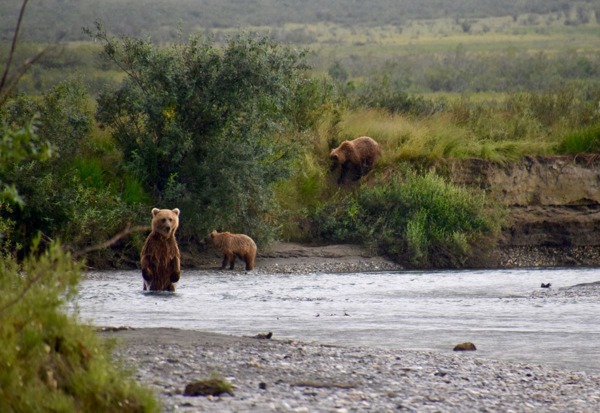 A grizzly bear sow and cubs that are fishing for chum salmon in Gates of the Arctic National Park and Preserve, northern Alaska. (Photo courtesy Matt Cameron / National Park Service)