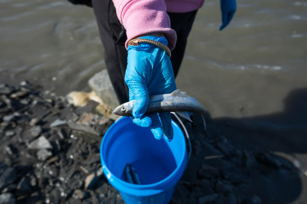 Jia Lee holds a hooligan caught north of Twentymile River along Turnagain Arm. (Loren Holmes / ADN)
