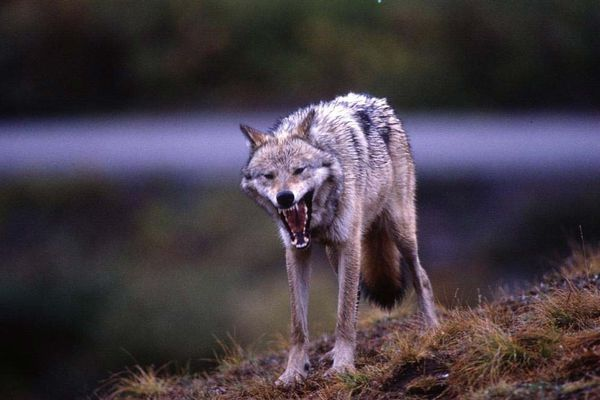 A wolf shows a formidable set of teeth as it yawns at Denali National Park after several hours of successful hunting for Arctic ground squirrels. The wolf population in the 6-million-acre park is at a 20-year low -- just 70 wolves in nine packs. (Bob Hallinen / ADN archive 2001)