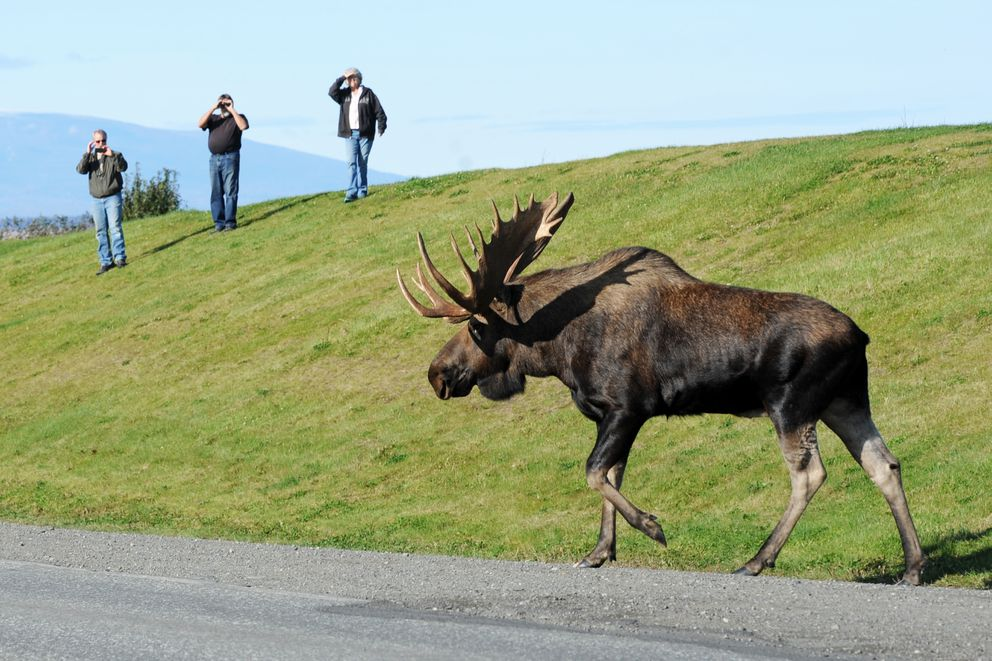 Visitors to Point Woronzof watch a large bull moose as it ambles across the road. (Erik Hill / ADN)