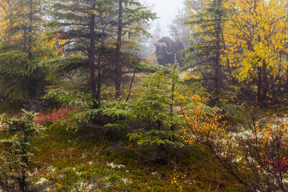 A muskox in the mist. (Luc Mehl)