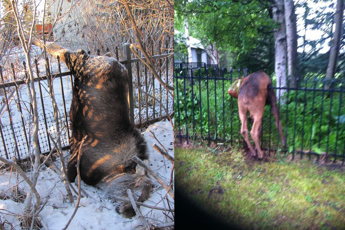 Baffling Veto Spares Anchorage S Moose Impaling Fences