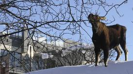Alaska officials to residents: Don't feed moose, even if they look skinny