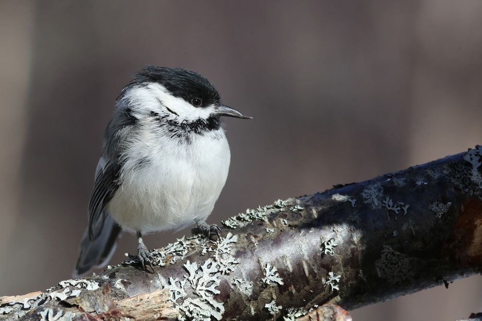 A black-capped chickadee with a pouty lower beak, not an uncommon occurrence. Nikiski, March of 2016. (Photo by Steve Meyer)