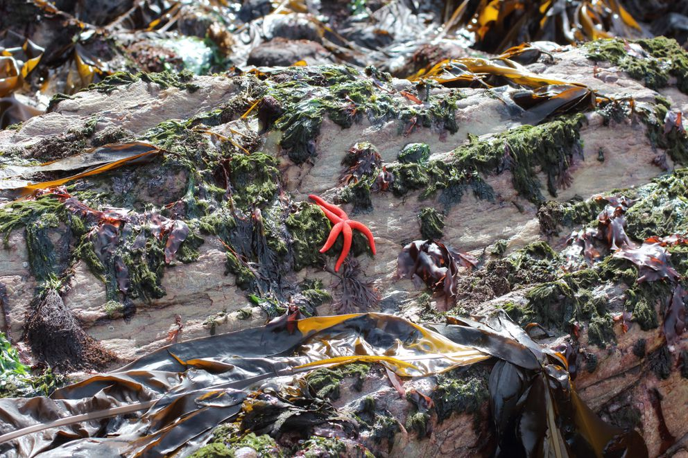 Blood star (Henricia leviscula) on a rock (Ground Truth Trekking photo)