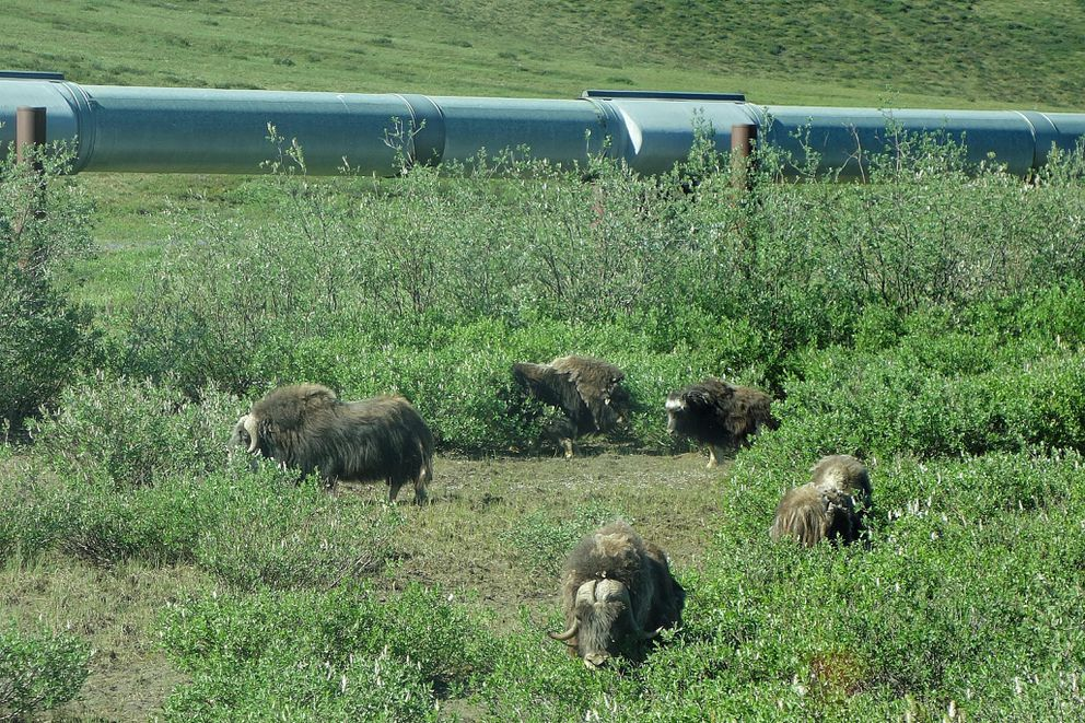 A group of musk ox munch away in the shadow of the trans Alaska oil pipeline. (Photo by Scott McMurren)