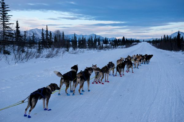 A dog team awaits the signal to leave the staging area. Seventeen two-musher teams started the Denali Doubles, a 226-mile race along the Denali Highway on Thursday, February 4, 2016, near Cantwell. The race was founded and organized by Jeff King. (Marc Lester / ADN)