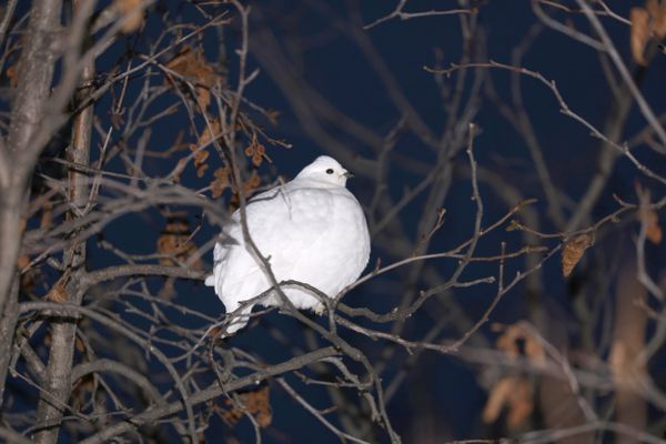 A whitetail ptarmigan. January 2020. (Photo by Steve Meyer)