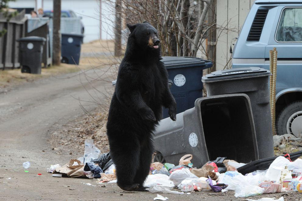 A black bear sow stands up after her four cubs were spooked and ran off while foraging through garbage cans in an alley on Government Hill in Anchorage on Sunday, April 12, 2015. (Bill Roth / ADN archive)
