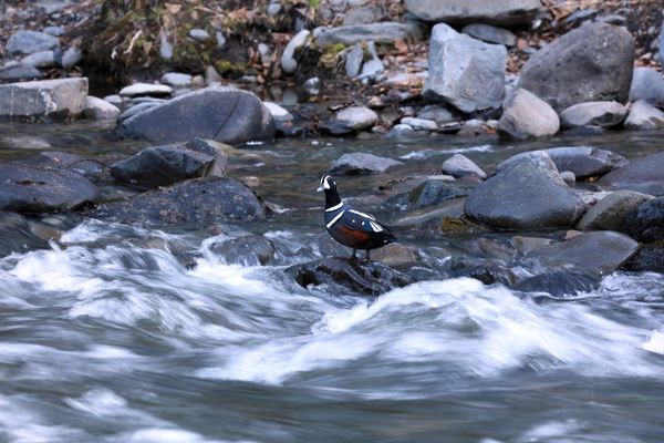 A drake Harlequin seaduck encountered while doing ptarmigan surveys in the Kenai Mts., May 2016. (Steve Meyer)