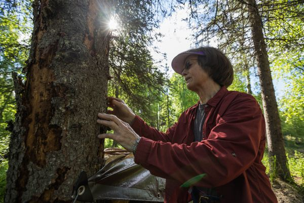 Donna Massay pulls bark from a tree killed by spruce bark beetles Friday, June 8, 2018 in Trapper Creek. So many trees died that this winter she had to carry a chainsaw in order to clear a path on the snowmachine trails around her home. (Loren Holmes / ADN)