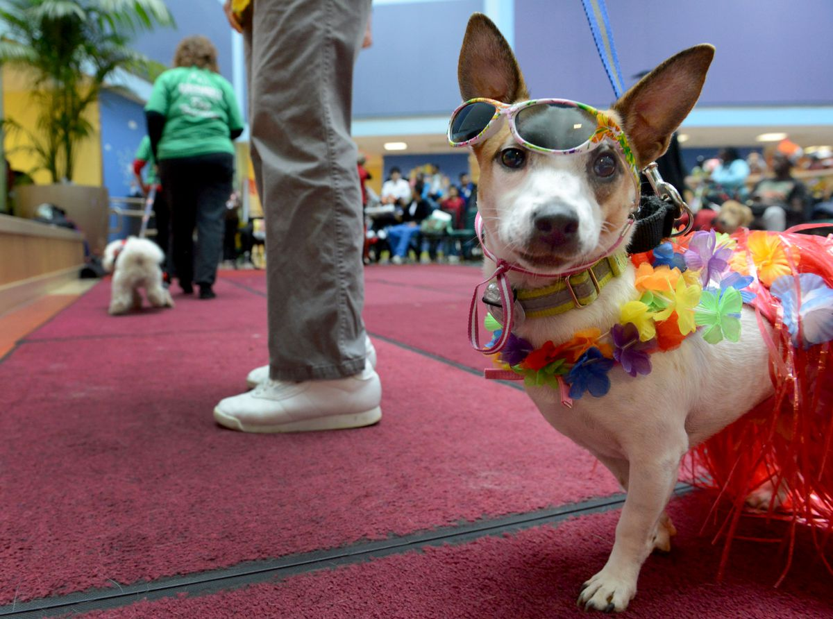"""""""Abigail"""" a Jack Russell therapy dog, at Children's Hospital dog parade and Halloween celebration in Washington, D.C., in 2012. (Photo by Linda Davidson / Washington Post)"""