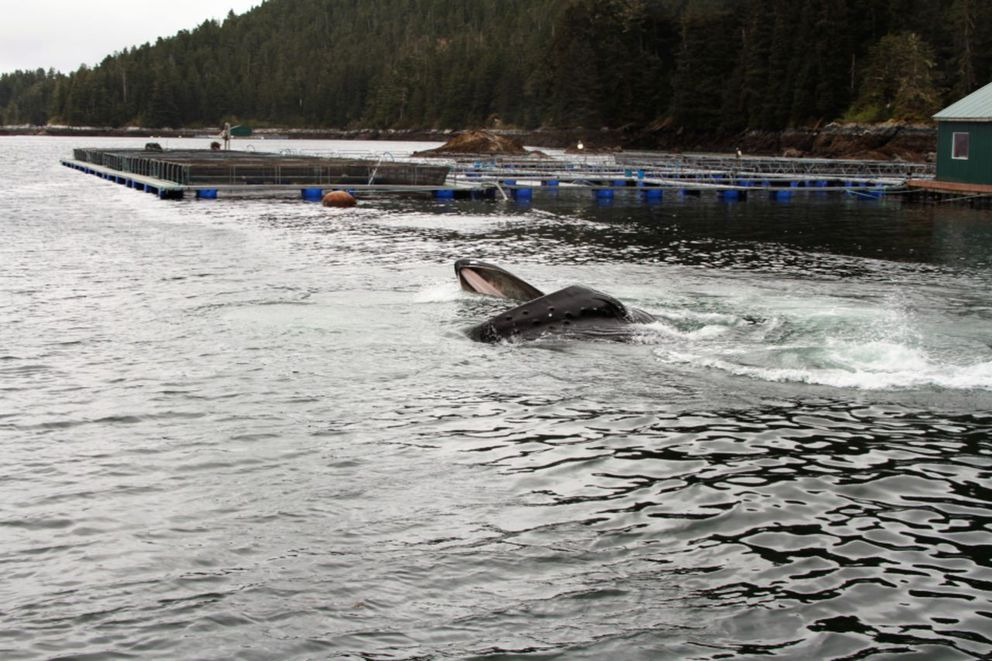 A humpback whale feeding near a holding pen just after salmon were released in May 2014, photographed under NOAA Fisheries permit #14122. (Monique Anderson)