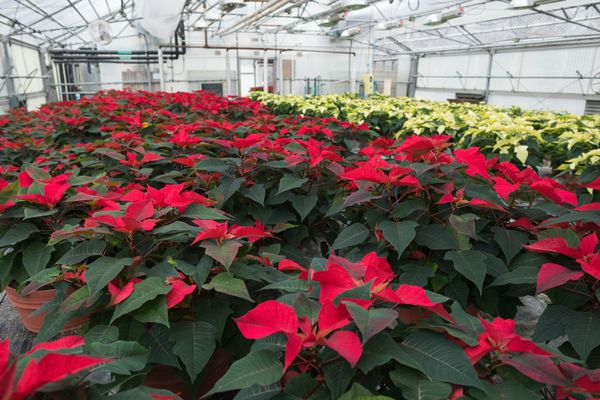 Poinsettias grow at the municipality's Horticulture Complex & the Mann Leiser Memorial Greenhouse, on Friday, Nov. 16, 2018. (Loren Holmes / ADN)