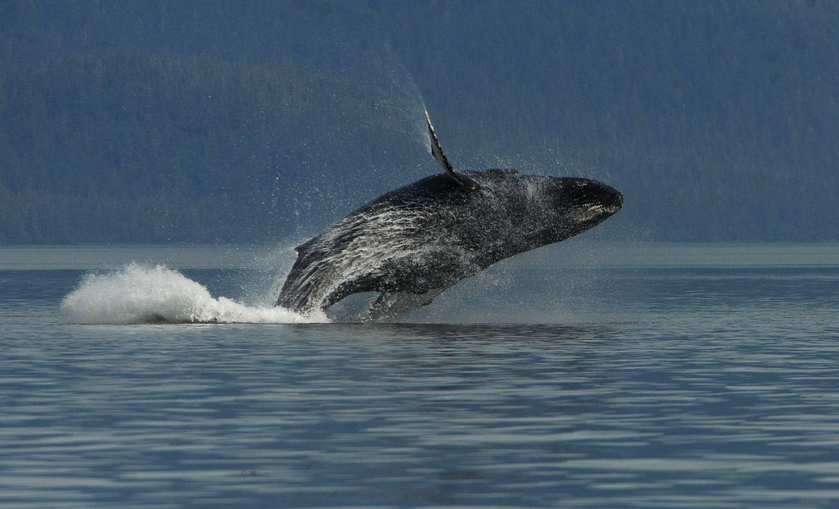 A humpback breaches in Frederick Sound off of Kupreanof Island north of Petersburg on Saturday, July 21, 2018. (Bob Hallinen / ADN)