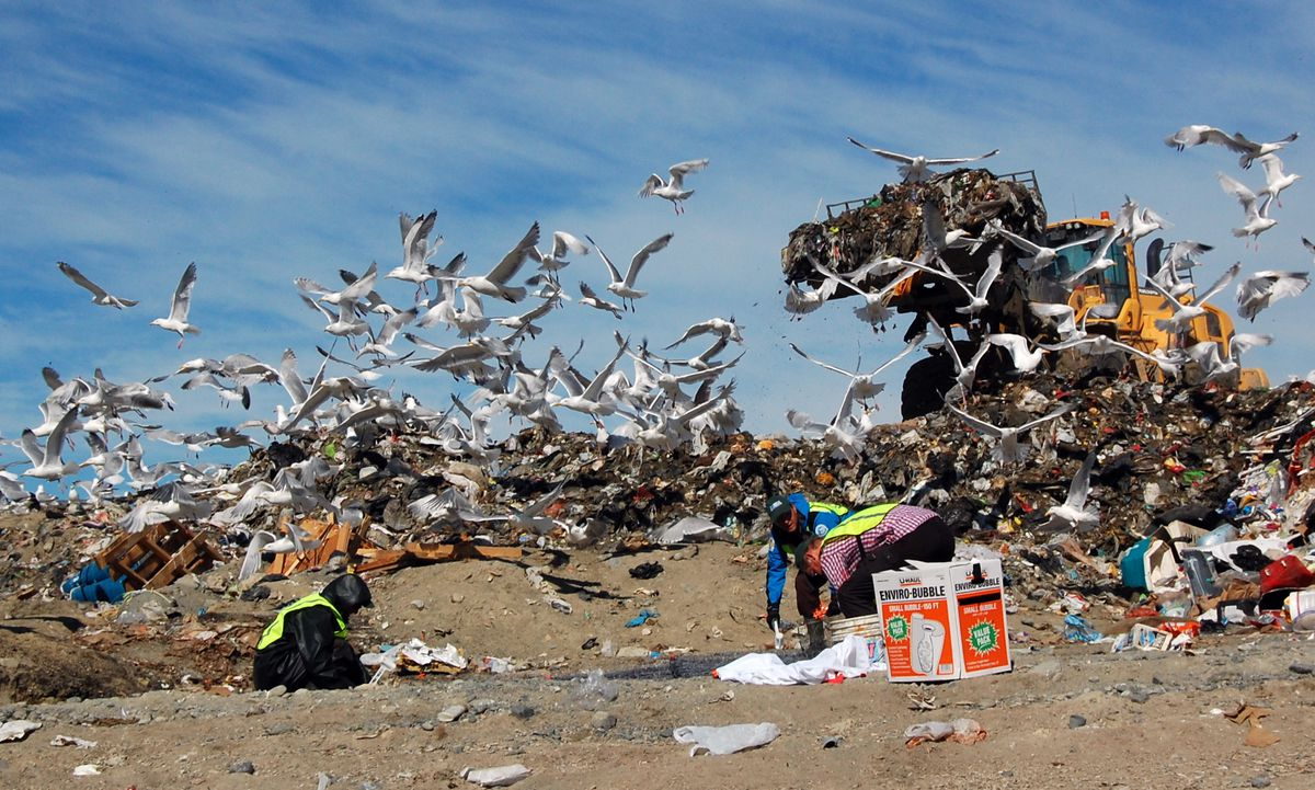 From left, scientists Andrew Ramey, Bjorn Olsen and Jonas Bonnedahl set a trap for gulls at the Soldotna landfill in June. (Andrew Reeves / USGS)