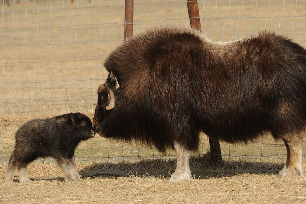 Newborn musk ox calf Argon comes nose to nose with his mother Jade at the Musk Ox Farm in Palmer, AK on Tuesday May 1, 2018. The newborns Argon and Xenon bring the total musk ox herd to 83. The summer season starts at the farm on the Mother's Day, May 13, with mothers getting in free and others by donation from 10 am-6 pm. In the background is the colony barn visitor center. (Bob Hallinen / ADN)