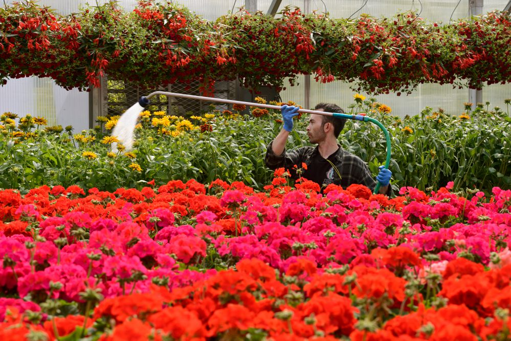 Gardener Mac Griffin waters flowers on May 22, 2017, at Anchorage's Horticulture Complex and the Mann Leiser Memorial Greenhouse on May 22, 2017. (Marc Lester / Alaska Dispatch News)