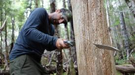 Exploring the mystery and majesty of the Alaska yellow cedar