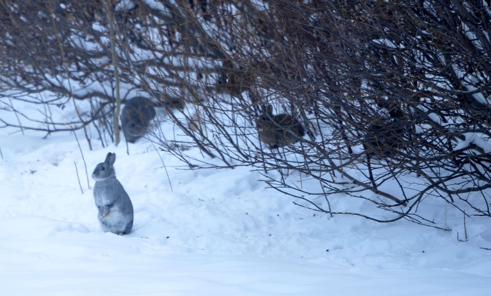 Feral rabbits feed on brush in a Lazy Mountain neighborhood on Friday. Chris Frost says Williwaw, one of his Tibetan mastiffs, contacted mange from a feral rabbit after it entered his enclosure and Williwaw killed it. (Bob Hallinen / Alaska Dispatch News)