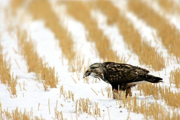 FILE - In this Nov. 27, 2007 file photo a rough-legged hawk feeds on a rodent in a field near Great Falls, Mont. Down to its final weeks, the Trump administration is working to push through dozens of environmental rollbacks that could weaken century-old protections for migratory birds, expand Arctic drilling and hamstring future regulation of public health threats. (Robin Loznak/The Great Falls Tribune via AP)