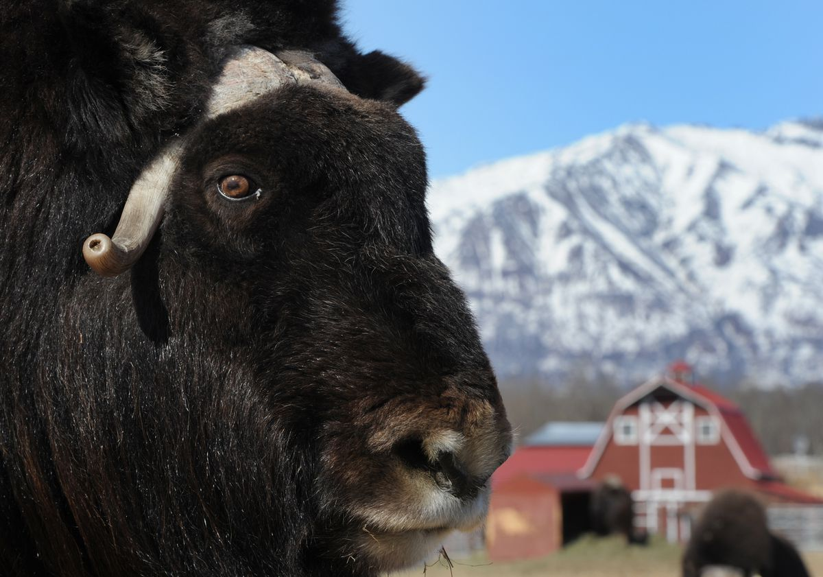 Luna is a 15-year-old musk ox living at the Musk Ox Farm in Palmer. The nonprofit farm will open to the public on Mother's Day, May 14. During the spring, the under-wool called qiviut is combed from the animals and used by knitters. (Bill Roth / Alaska Dispatch News)
