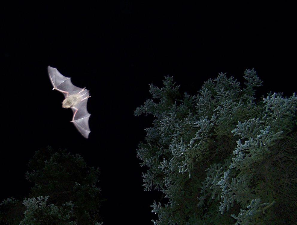 Alaska's most common bat: Myotis lucifugus, the little brown bat, photographed near Haines Junction in the Yukon. (Lea Randall)