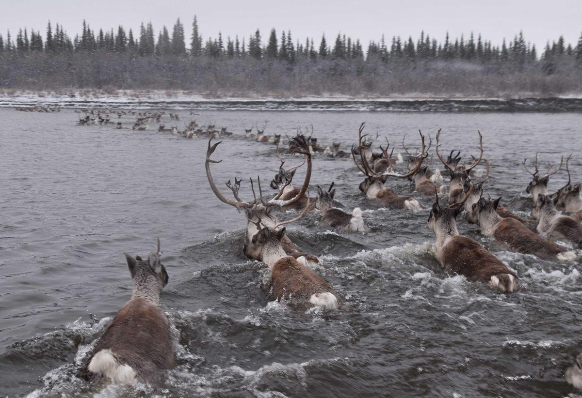 Caribou cross the Kobuk River in northwestern Alaska. (Photo by Kyle Joly)