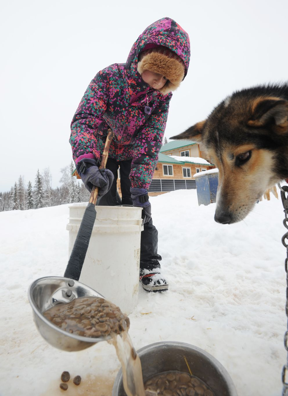 Following a run, Ava Smyth, 10, feeds the dogs a chunky broth to make sure they are fed and hydrated. (Erik Hill / Alaska Dispatch News)