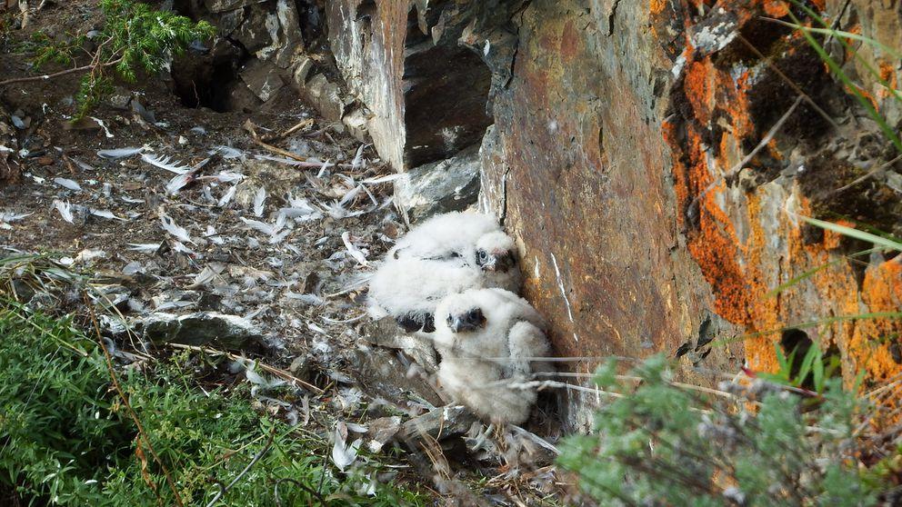 Peregrine falcon chicks born on a ledge above the Yukon River. (Photo by Skip Ambrose)