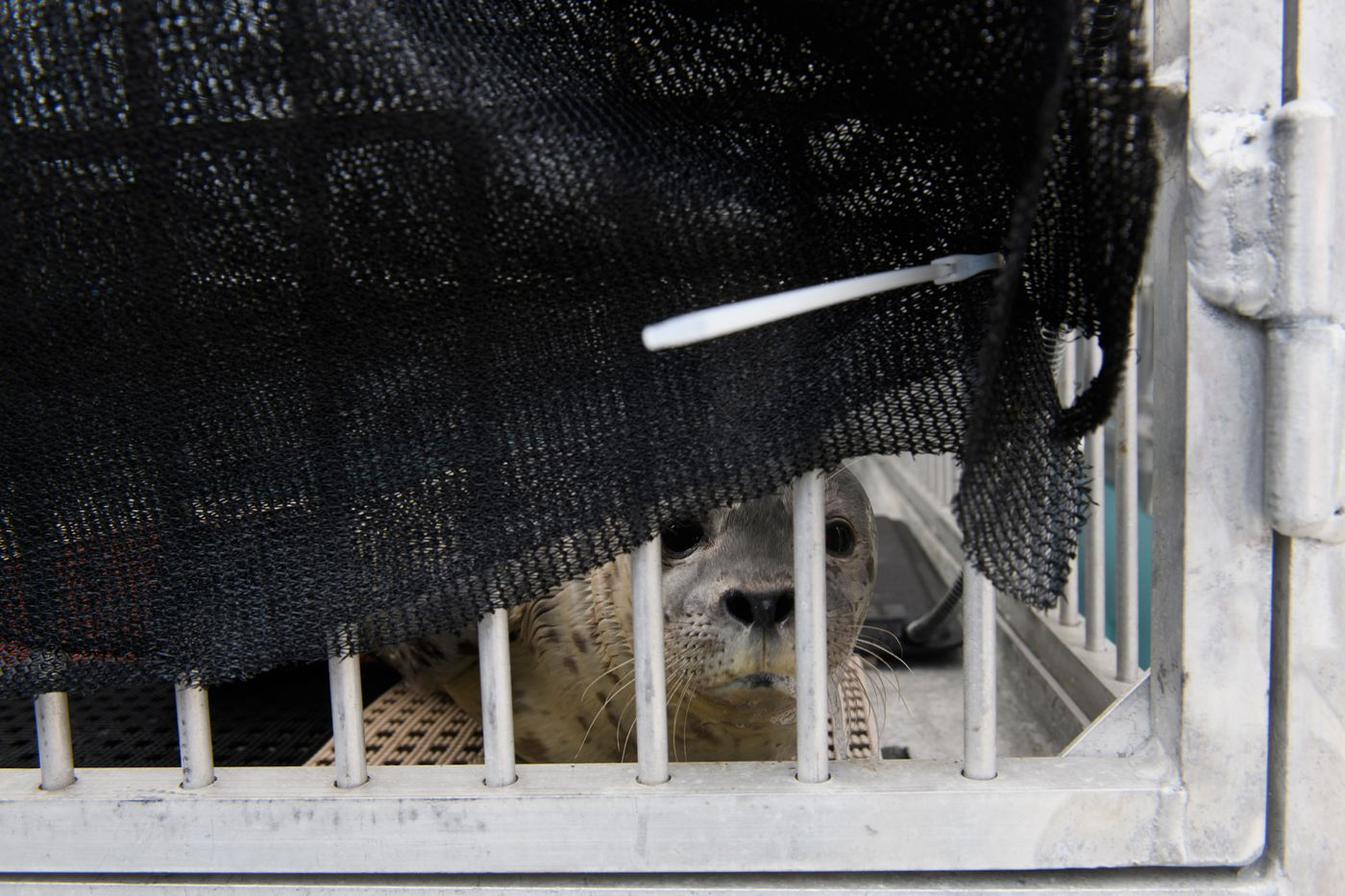 A harbor seal pup recovers at the Alaska SeaLife Center on July 6, 2020. The SeaLife Center's Wildlife Response program, the only marine mammal rehabilitation program in Alaska, cared for 6 harbor seal pups in early July. Activities pictured authorized by permit NOAA SA-AKR-2019-01. (Marc Lester / ADN)