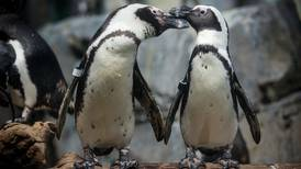 More than 60 penguins died on a South African beach, leaving experts a mystery