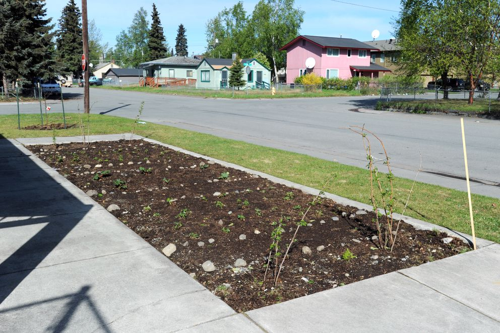 This edible garden plot now hosts raspberry, strawberry and rhubarb plants on Thursday, May 25, 2017, at Fairview Park. A recent fix-it event added apple trees, blueberry and currant bushes to the site along with a garden plot with raspberry bushes, strawberry plants and rhubarb. (Erik Hill / Alaska Dispatch News)